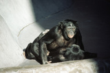 Pygmy Chimpanzees Copulating, Male on Top Photographic Print