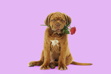 Dogue De Bordeaux Puppy Sitting Down Holding a Rose Photographic Print