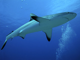 Grey Reef Shark Female Photographic Print