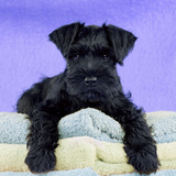 Miniature Schnauzer 10 Week Old Puppy Photographic Print