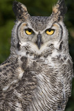 Montana Great Horned Owl Adult Photographic Print