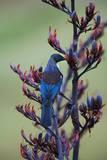 Tui, Parson Bird Sucking Nectar of Flowering Photographic Print