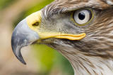 Ferruginous Buzzard Photographic Print