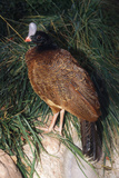 Northern Helmeted Curassow Rare Red Phase Photographic Print
