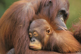 Orangutans Photographic Print