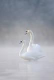Mute Swans Pair in Courtship Behaviour Back-Lit Impressão fotográfica