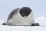 Hooded Seal Young 4 Days Old Photographic Print