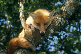 Red Fox in Tree, Facing and Showing Tail Photographic Print