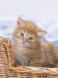 Ginger and Tabby Kittens in a Basket Photographic Print
