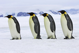 Emperor Penguin Four Adults Walking across Ice Fotografisk tryk