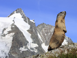 Alpine Marmot on Hind Legs Photographic Print
