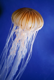 Striped Jellyfish Photographic Print