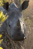 White Rhinoceros Potrait of a Male Photographic Print
