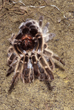 Tarantula, Chilean Rose Bird-Eating Spider Moulting Photographic Print