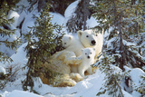 Polar Bear with Two Cubs, in Snow Photographic Print