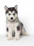 Alaskan Malamute Dog Pup Photographic Print