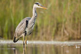 Grey Heron Waiting in Shallow Water for Passing Fish Photographic Print