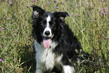 Border Collie Dog with Tongue Out Photographic Print