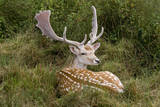 Fallow Deer Male in Velvet Resting in Undergrowth Photographic Print