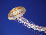 Purple Striped Jellyfish Photographic Print