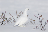 White-Tailed Ptarmigan Male in Snow Reproduction photographique