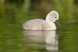 Mute Swan Cygnet Impressão fotográfica