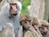 Sacred Baboon Male with His Harem Photographic Print