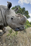 Northern White Rhinoceros after Initial Release Photographic Print