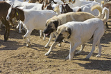 Anatolian Shepherd Dogs Walking with Goats Photographic Print