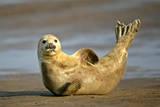 Grey Seal Resting on Beach Stretching it's Body Fotografisk tryk