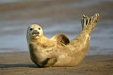 Grey Seal Resting on Beach Stretching it's Body Fotografie-Druck