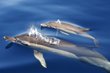 Common Dolphins Photographic Print