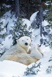 Polar Bear Parent with 2 Cubs Photographic Print