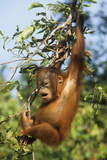 Orang-Utan Young Hanging in Tree and Calling Photographic Print