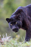 Black Leopard Photographic Print