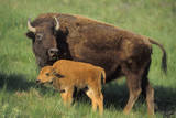American Bison Cow and Calf Photographic Print