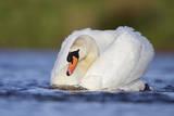 Mute Swans Male Bird in a 'Slide' Powering Through Impressão fotográfica