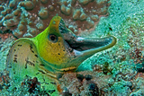Fimbraited Moray Photographic Print