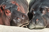 River Hippopotamus, Two Sleeping Together Fotografisk tryk