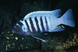 Zebra Cichlid 'Egg Spots' Photographic Print