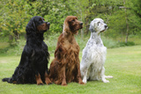 Irish Setter Sitting Between Gordon Setter Photographic Print