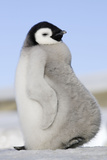 Emperor Penguin Chick Photographic Print