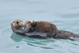 Alaskan Northern Sea Otter Mother Carrying Photographic Print