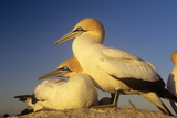 Cape Gannet Pair, One Standing One Lying-Down Photographic Print