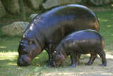 Pygmy Hippopotamus with Young, Side by Side Reprodukcja zdjęcia