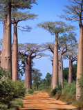 Boab Tree Fotografie-Druck
