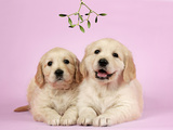 Golden Retriever Puppies (6 Weeks) Lying Down Photographic Print