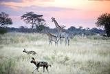 African Wild Dog Passing Giraffe Mother and Calf Photographic Print