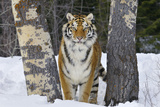 Amur Tiger in Winter Snow Photographic Print