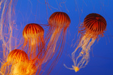 Japanese, Pacific Sea Nettle, Jellyfish Photographic Print